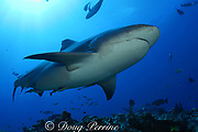bull shark or Zambezi shark, Carcharhinus leucas, with fishing line trailing from hook in mouth, at Shark Reef Marine Reserve, Beqa Passage, Viti Levu, Fiji ( South Pacific Ocean )
