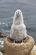 Black browed Albatross - Thalassarche melanophrys - 3 week old chick on nest