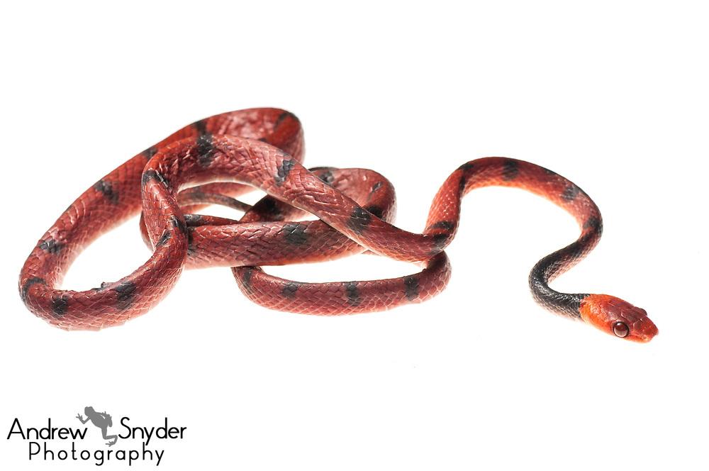 Tropical Flat Snake, Siphlophis compressus, Kanuku Mountains, Guyana, July 2013