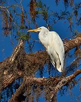 Great Egret above the pond at Clyde Butcher's Gallery. Winter Nature in Florida Image taken with a Fuji X-T2 camera and 100-400 mm OIS telephoto zoom lens (ISO 200, 400 mm, f/8, 1/1500).