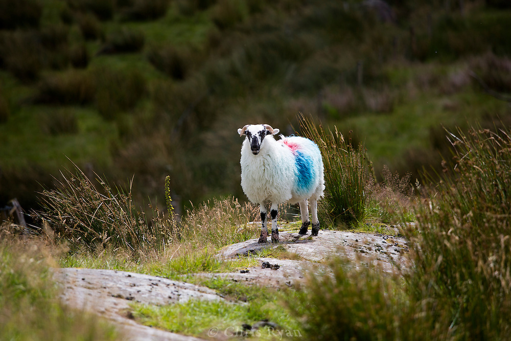 Sheep in the black valley, County Kerry, Ireland