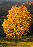 Vibrant sugar maple leaves pop when lit from behind.  Green Mtns. Vermont