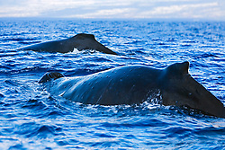 Humpback Whales, breathing at surface, Megaptera novaeangliae, note numerous whale warts - bumps or swellings made by parasitic worms which coil up into tight balls infesting the subdermal layer, Hawaii, Pacific Ocean