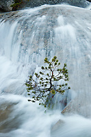 Small tree stands against river of summer snowmelt, Tuolumne Meadows, Yosemite national park, California