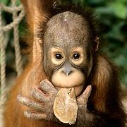 Orangutan, (Pongo pygmaeus) Portrait of juvenile chewing on leaf. Sepilok Forest Rehabilitaion Center. Boreno. Malaysia. Controlled Conditons.