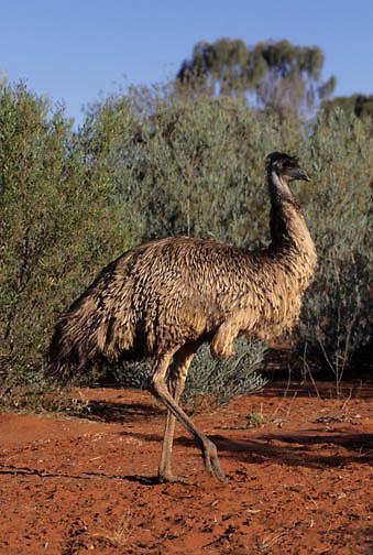 Emu (Dromaius novaehollandiae) in Australia.