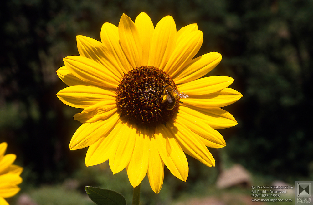 Common Sunflower / Mirasol (Helianthus annuus) with beetle, White Mountains, Arizona..Media Usage:.Subject photograph(s) are copyrighted Edward McCain. All rights are reserved except those specifically granted by McCain Photography in writing...McCain Photography.211 S 4th Avenue.Tucson, AZ 85701-2103.(520) 623-1998.mobile: (520) 990-0999.fax: (520) 623-1190.http://www.mccainphoto.com.edward@mccainphoto.com.