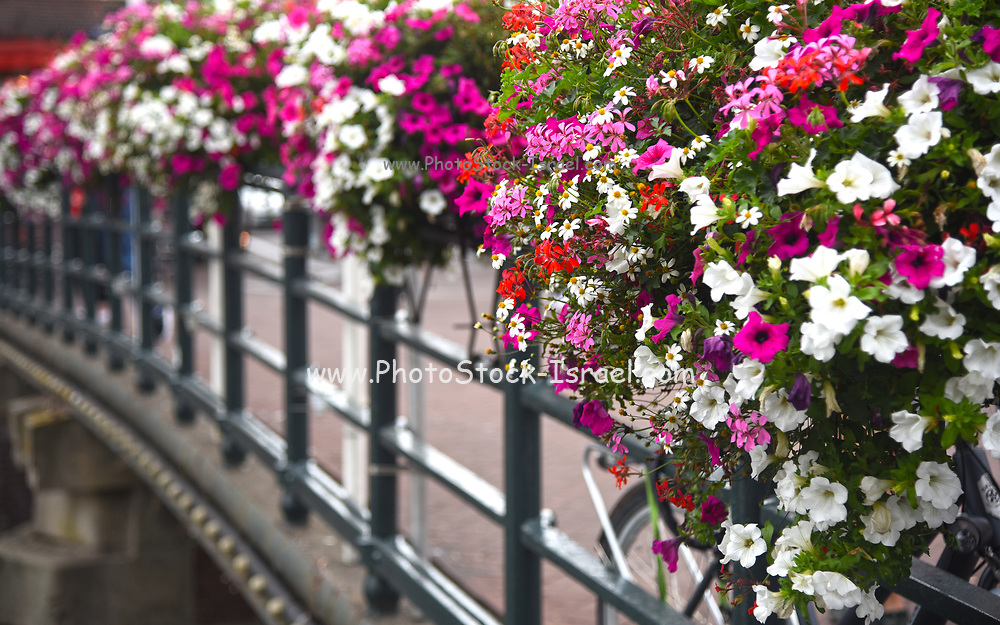 pink and white flowers in flower boxes on a bridge. Photographed in Amsterdam in August
