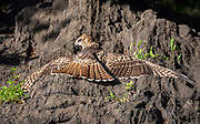 Red Tale hawk sunbathes on the rock in Central Park, NYC.