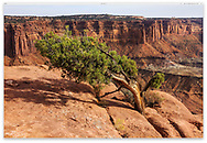 A windswept Bristlecone Pine Tree bravely and stubbornly living at the edge, Canyonlands National Park; Utah, USA