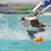 Dog dive competition held in Budapest, Hungary on May 17, 2014. ATTILA VOLGYI