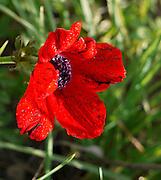 Israel, red poppy (Papaver umbonatum) open flower