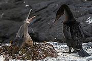 Flightless Cormorants (Nannopterum harrisi) on Nest<br /> Espinosa Point<br /> Fernandina Island<br /> Western Isles of Galapagos Islands<br /> Galapagos<br /> Ecuador, South America<br /> ENDEMIC TO GALAPAGOS