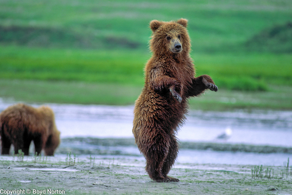 """""""Dancing"""" grizzly bear cub; actually standing to look for danger."""