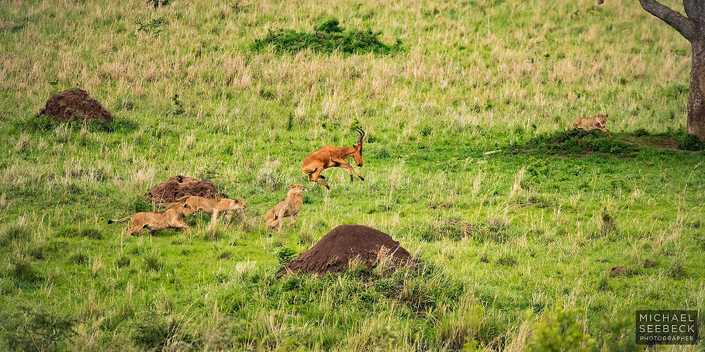 A pride of lions in hot pursuit of a Jackson's Hartebeest, on the plains of Uganda.<br /> <br /> A 2:1 Panoramic Print. Available in 30in (76cm) to 60in (152cm) sizes. Also available as a rights-managed stock image.<br /> <br /> Limited Edition of 25.<br /> <br /> Code: BFUS0001