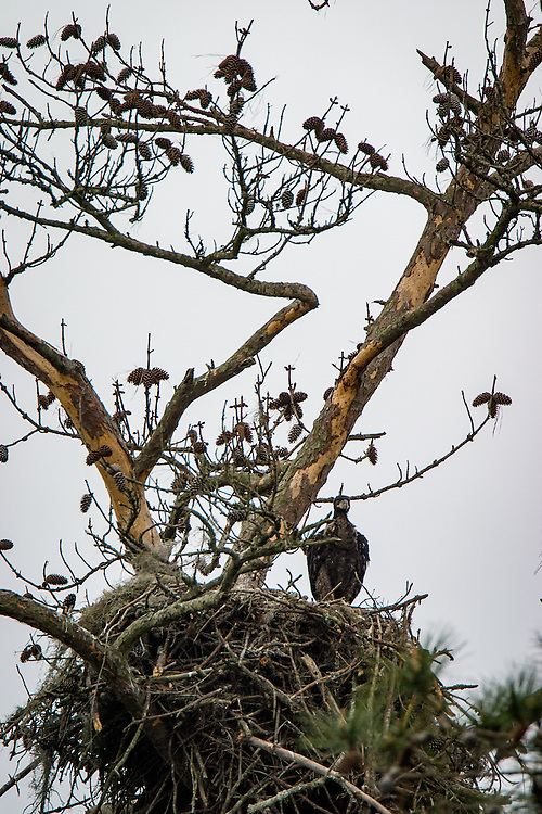 A baby bald eagle perches on its nest in a dead pine along the May River.