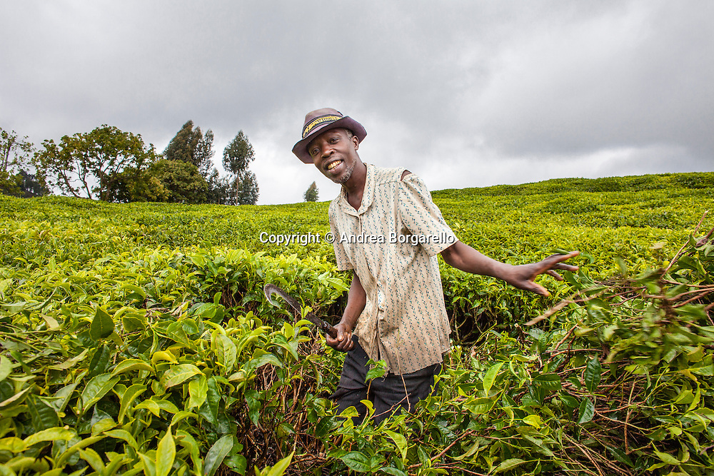 Rwanda, Tea plantation.