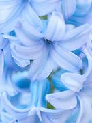 Hyacinthus orientalis 'City of Bradford' - Dutch hyacinth