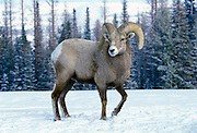 A bighorn ram (Ovis canadensis canadensis) portrait. Lostine Ridge, Wallowa Mountains, Oregon.
