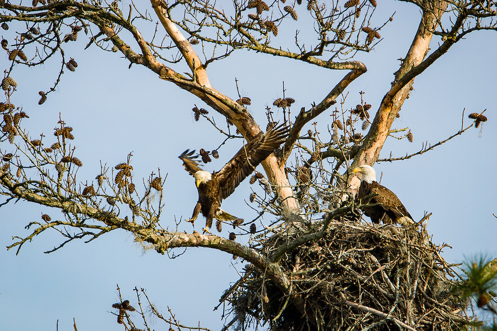 A pair of bald eagles meet at their nest along the May River.