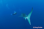 Denise Garcia, a field researcher working on SPAG census, observes a whale shark, Rhincodon typus, passing by at Gladden Spit & Silk Cayes Marine Reserve, off Placencia, Belize, Central America ( Caribbean )