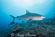 tiger shark, Galeocerdo cuvier, followed by black ulua or giant trevally, Honokohau, Kona, Big Island, Hawaii, USA ( Central Pacific Ocean )