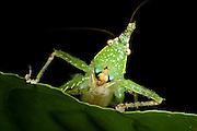 Spine-headed Katydid Nymph (Copiphora gracillis?)<br /> Yasuni National Park, Amazon Rainforest<br /> ECUADOR. South AmericaSpine-headed Katydid (Acantheremus sp) New to Science<br /> Yasuni National Park, Amazon Rainforest<br /> ECUADOR. South America