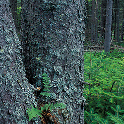 A small fern grows in the trunk of a red spruce in an open area in a lowland spruce-fir forest near the Moose River in NH's White Mountains.  Randolph, NH.