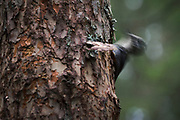Three-toed Woodpecker Picoides tridactylus, Photo by Davis Ulands | davisulands.com