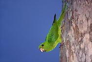 Green Parakeet - Aratinga holochlora