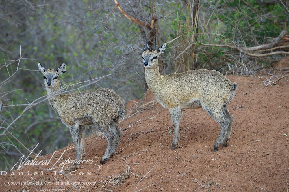 Klipspringer. MalaMala Game Reserve. South Africa.