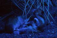 Deutschland, DEU, Cuxhaven: Nächtlicher Kampf zwischen zwei männlichen Goldhamstern (Mesocricetus auratus). Einer drang in das Territorium des anderen ein. Goldhamster sind Nachttiere und Einzelgänger. Sie dulden keine anderen Männchen in ihrem Revier. Wenn das schwächere Tier nicht mehr fliehen kann, enden Kämpfe oft tödlich. Es existiert keine Form von Kampfritual, kommt es zu einem, geht es um Leben oder Tod.   Germany, DEU, Cuxhaven: Golden Hamster (Mesocricetus auratus), fight between two males at night, one invaded the territory of the other, Golden Hamsters are nocturnal animals, they are loner and territorial, they don't tolerate another male in their territory, if the weaker animal can't flee it often end deadly, there exists no ritual, these confrontations are fights for their life.  