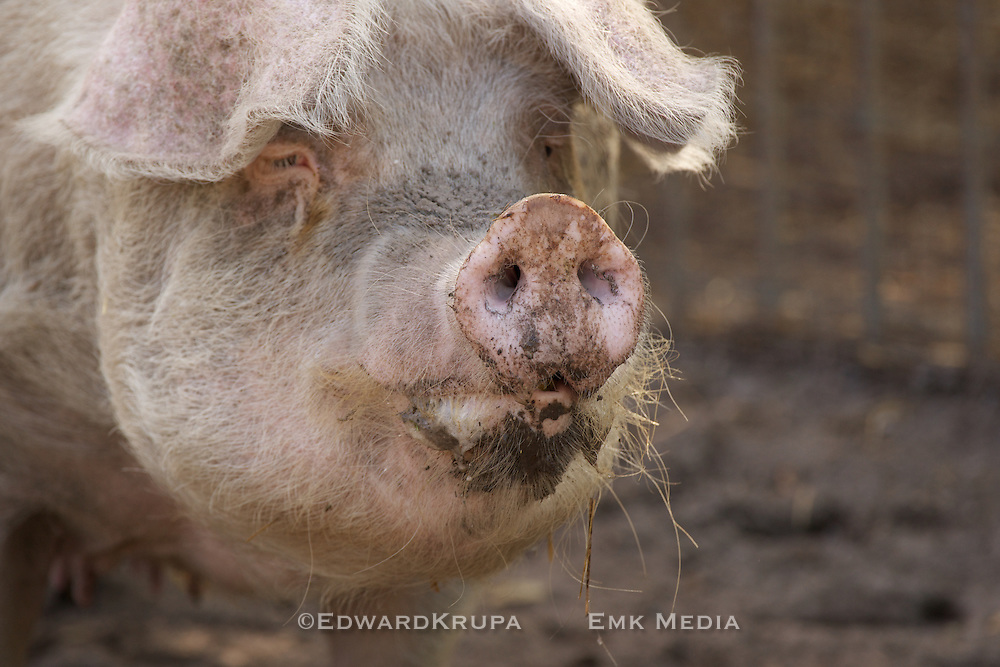 Portrait of a pig.