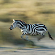 Burchell's Zebra (Equus burchelli) running during migration in Serengeti National Park. More than 200,000 zebras migrate along side one million wildebeest and 300,000 Thomson's Gazelles. Tanzania, Africa
