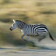 Burchell's zebra (Equus burchelli) running during migration in Serengeti National Park. More than 200,000 zebras migrate alongside one million wildebeest and 300,000 Thomson's gazelles. Tanzania, Africa