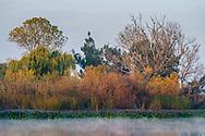Reeds and Riparian habitat along the bank of Middle River, Bacon Island, San Joaquin County, Sacramento-San Joaquin River Delta, California