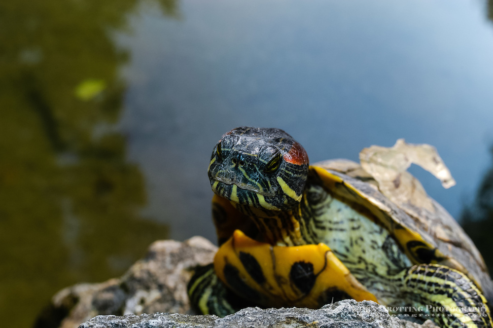 Budapest, Hungary.  Turtle in the Japanese Garden on Margaret Island.