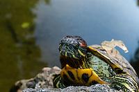 Budapest, Hungary.  Turtle in the Japanese Garden on Margaret Island.