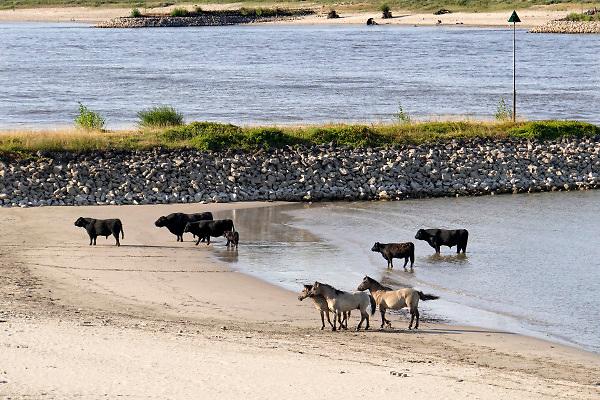 Nederland, the netherlands, Nijmegen, 25-10-2018 Nog nooit stond het water in de Waal zo laag . Wilde koeien, galloway, en konikpaarden staan langs de oever. Door de aanhoudende droogte staat het water in de rijn, ijssel en waal extreem laag . Laagterecord en de laagste officiele stand ooit bij Lobith gemeten. Door te weinig regenval in het stroomgebied van de rijn is het de waterafvoer extreem weinig . De Waal is het Nederlandse deel van de Rijn en de belangrijkste vaarroute van en naar Rotterdam en Duitsland . Aftakkingen zijn de minder bevaren Neder Rijn en IJssel.Foto: Flip Franssen
