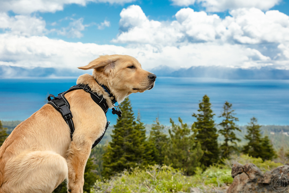 """""""Puppy Above Lake Tahoe 3"""" - Photograph of Golden Retriever puppy """"Quill"""" above Lake Tahoe, in the wind."""