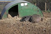 Free range pig farming