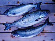 Full Pink, King and Silver Salmon on wood boards, fresh ocean-caught fish to be cooked and served by Kirsten Dixon at Winterlake Lodge, Finger Lake, Alaska.