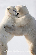 01874-106.09 Polar Bears (Ursus maritimus) sparring, Churchill, MB