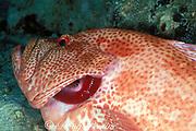 tomato grouper or tomato cod, Cephalopholis sonnerati, has gills cleaned by cleaner shrimp, Periclimenes sp., Mabul Island, Sabah, Borneo, Malaysia ( Celebes Sea )