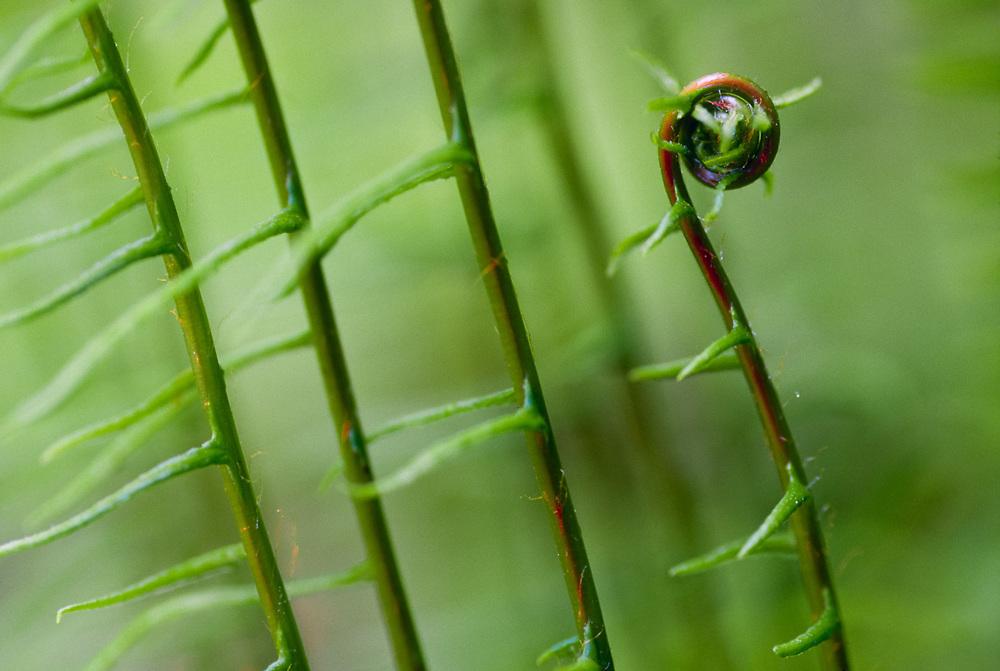 Deer fern (Blechnum spicant), Olympic Rain Forest, Washington, USA