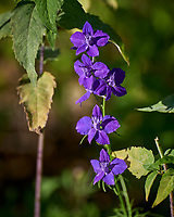 Larkspur/Delphinium. Image taken with a Leica CL camera and 90-280 mm lens.