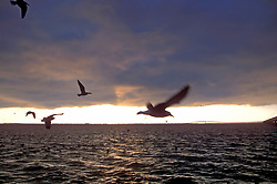 Stock photo of seagulls in flight over the ocean at sunset