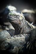 Marine Iguana, Amblyrhynchus cristatus. Fernandina Island, Galapagos, Ecuador, South America