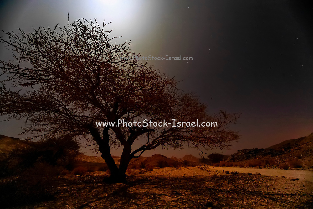 Umbrella Thorn Acacia (Acacia tortilis). A medium to large canoped tree native to arid areas in the savannahs of Africa and the Middle East. Photographed in Israel, northern plains Negev desert at Sun Set