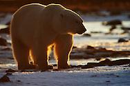 Backlit polar bear on Hudson Bay shore.